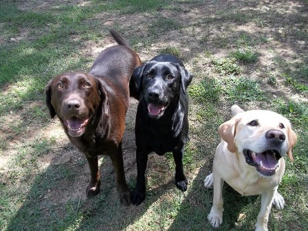 Save a Lab Labrador Retriever Rescue